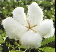 India's cotton output estimates lowered