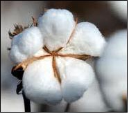 Indian cotton crop to be higher in 2011-12