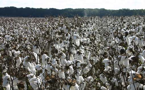Government Regresses on Cotton Export Policy