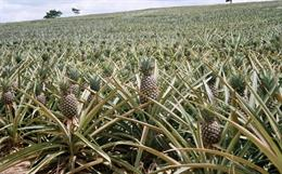 Pineapple-fibre-fruit-of-the-loom_small