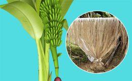Banana fibre: Green apparel of the future