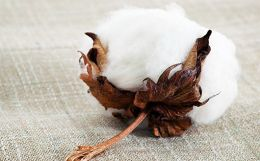 Antimicrobial Finishing on Cotton Fabric with Mint Stem Extract