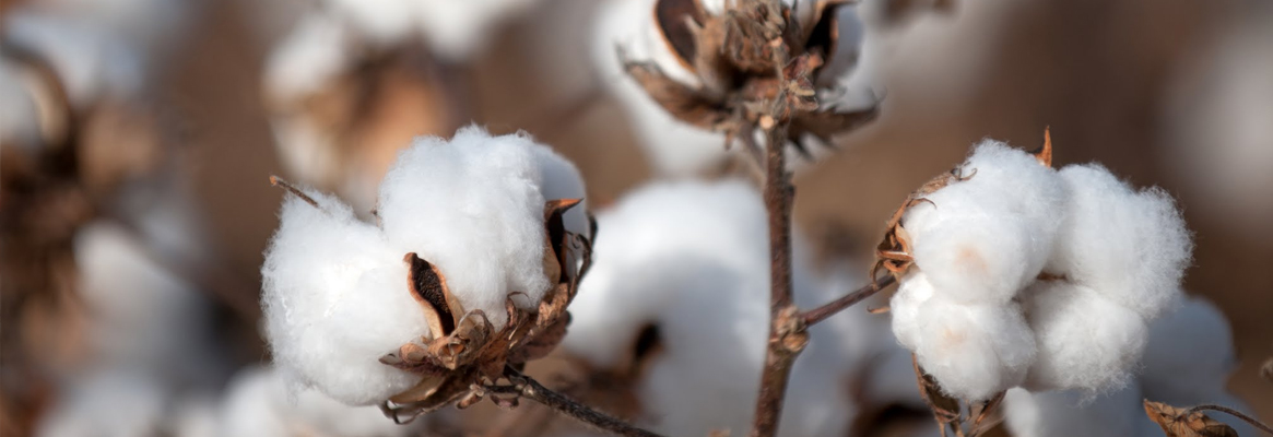 What has Cotton ever done for us?
