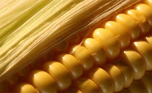 biology assignment corn fiber to clothing Dupont, tate & lyle begin production of corn-based polymer that can replace petroleum.